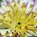 写真: 立冬に咲く クレマチス・ビエネッタ