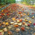 落ち葉の散歩道~ナンキンハゼ編~