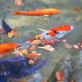 晩秋の崑崗(こんこう)池の錦鯉