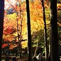 杉木立の紅葉 in 仏通寺