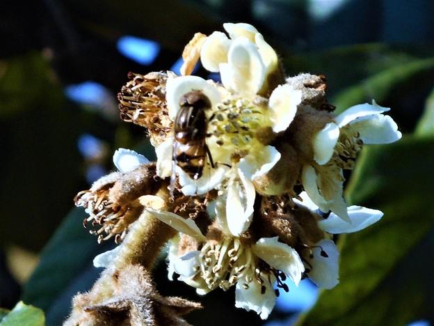 新春の枇杷の花にハナバチ