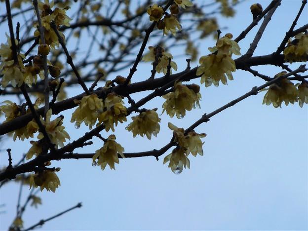 春雨の雫と蝋梅の花