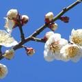 陽光のなか ポンポンと咲いた小梅たち