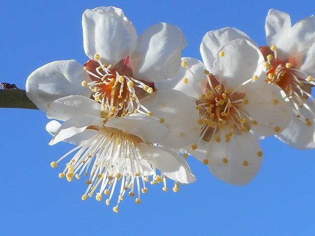 いきいき爽やかな白梅たち