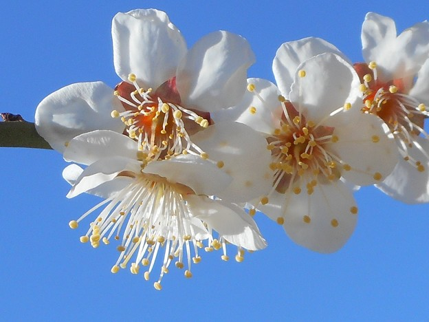 写真: いきいき爽やかな白梅たち