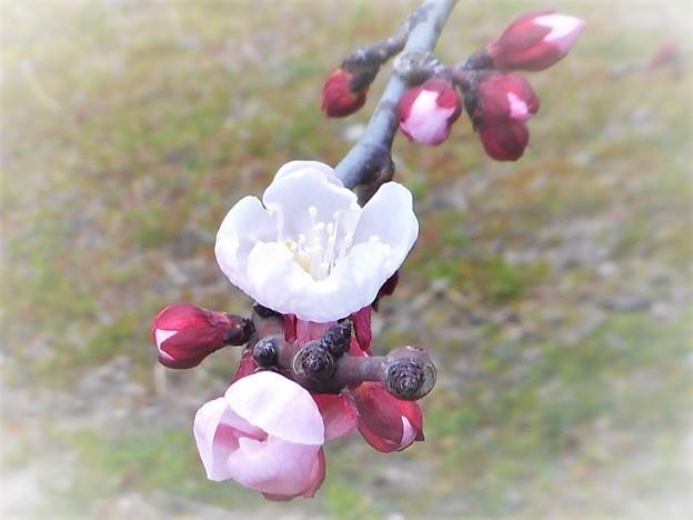 写真: まだまだ咲きます 梅の花