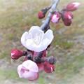 まだまだ咲きます 梅の花