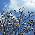 Photos: 青空に 白モクレンが元気。