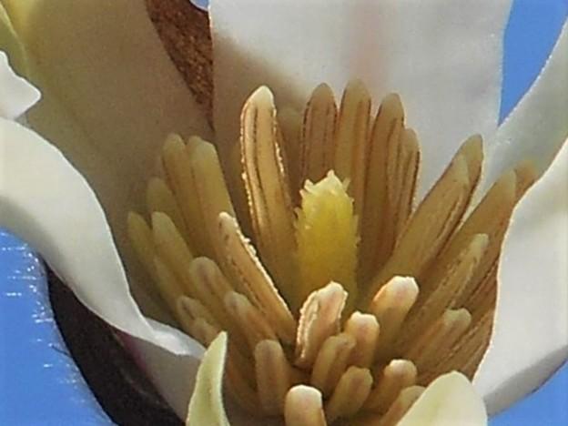 コブシの開花に@ズームイン