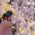 Photos: 撮影スポットは花盛り@三春滝桜 in 千光寺山