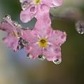 写真: 勿忘草と滴花たち