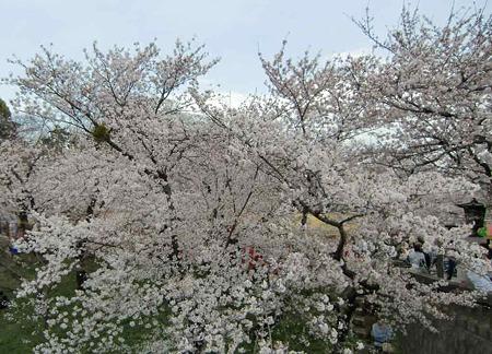 okazaki sakura matsuri-220407-5
