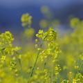 写真: ♪~春ですねぇ~♪  「朧月夜」~♪