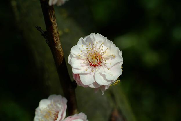 写真: 金熊寺の梅林5