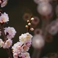 写真: 金熊寺の梅林8(リングボケ)