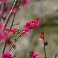 写真: 金熊寺の梅林9(リングボケ)