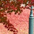 真っ赤な落ち葉のじゅうたんに