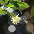 樒(シキミ)の花