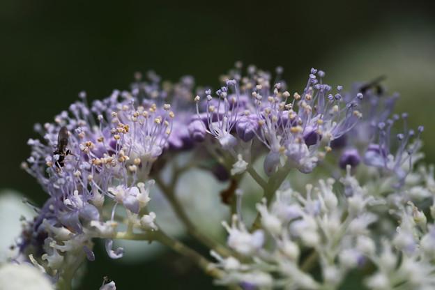 タマアジサイ(玉紫陽花)