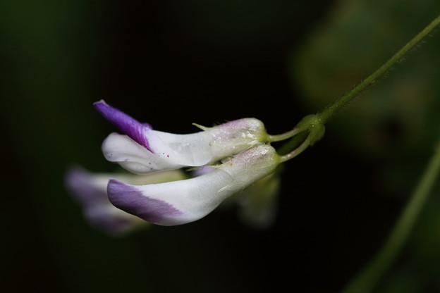 ヤブマメ(藪豆)