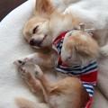 Photos: 無防備に眠るチワワ