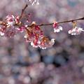 写真: あたみ桜 1
