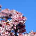 写真: あたみ桜 2