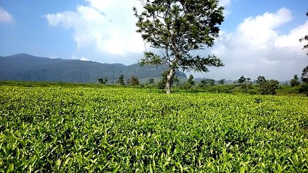 Photos: 茶畑歩きです