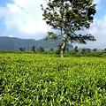 茶畑歩きです