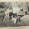 昭和20年代の猫