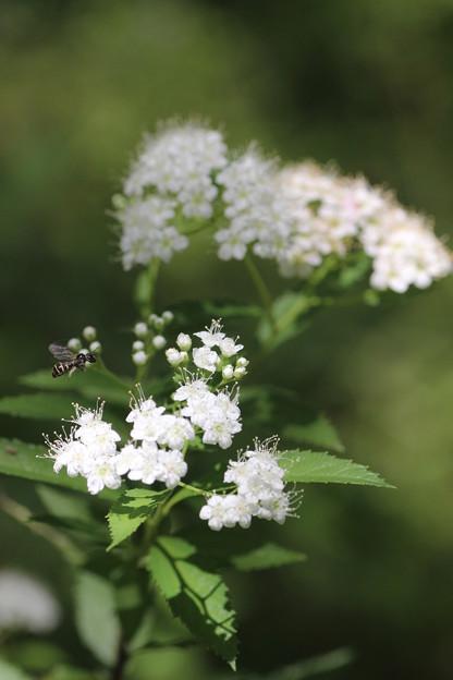 シモツケ(下野) バラ科 白花