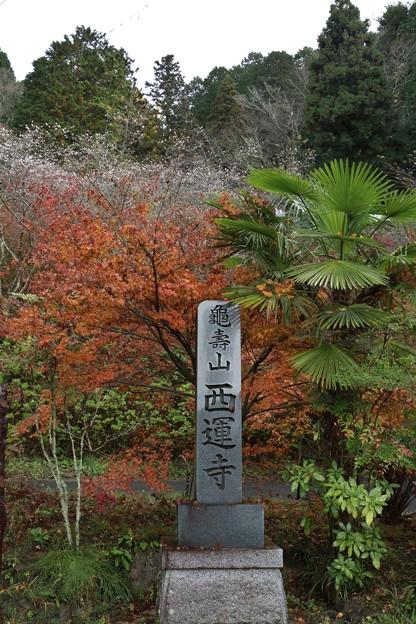小原西運寺四季桜と紅葉