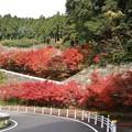 Photos: 小原西運寺四季桜