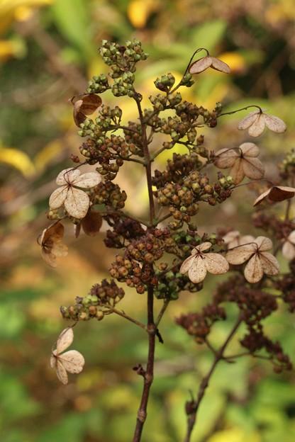 ノリウツギの枯れた花 ノリウツギ(糊空木)  ユキノシタ科アジサイ属