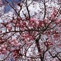 ベニシダレ(紅枝垂れ桜)バラ科