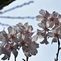 キンキマメザクラ(近畿豆桜) バラ科