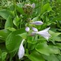 Photos: ギボウシの花(大葉ギボウシ)