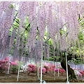 Photos: 藤_0007