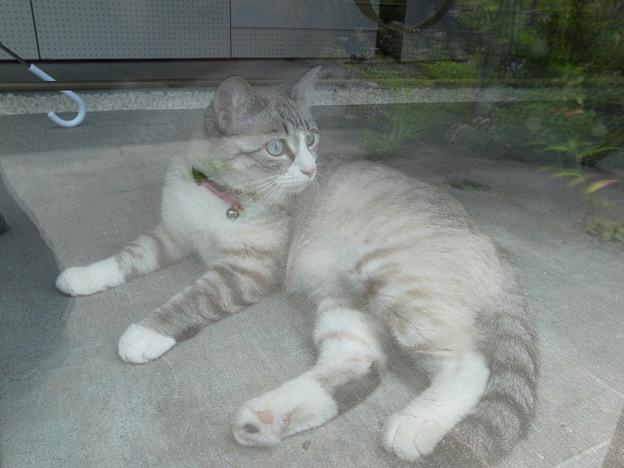 ガラス越しのネコ