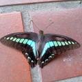 写真: この蝶、何だっけ?(7月20日)