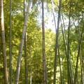 写真: 瓜ガ谷の竹林(7月25日)