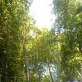 写真: 瓜ガ谷の竹林2(7月25日)