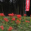 写真: 彼岸花_守谷 F7990