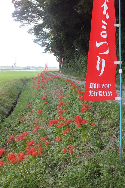 彼岸花_守谷 F7994