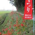 写真: 彼岸花_守谷 F7994