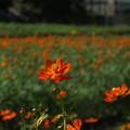 秋桜_公園 F8148