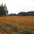 秋桜_公園 D9890