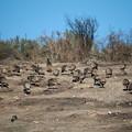 Photos: Wild Turkey (7)