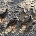 写真: Chicks of California Quail (3)