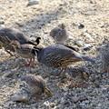 写真: Chicks of California Quail (5)